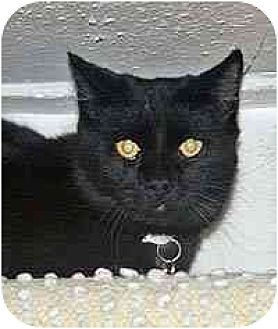 Domestic Shorthair Cat for adoption in Clovis, New Mexico - Elvis