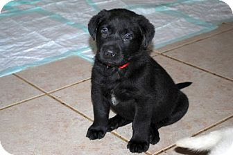 Labrador Retriever/German Shepherd Dog Mix Puppy for Sale in Minneola, Florida - Sawyer