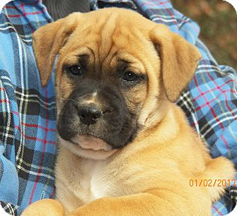 Boxer/Labrador Retriever Mix Puppy for Sale in Sussex, New Jersey - Gabby