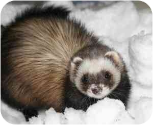 Ferret for adoption in Columbia, Maryland - The Black Jack 21