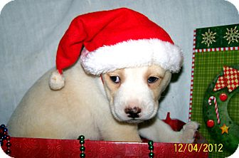 Labrador Retriever/Boxer Mix Puppy for Sale in Sussex, New Jersey - Mason