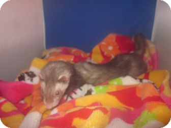 Ferret for adoption in Toledo, Ohio - Lacy