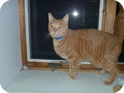 Domestic Shorthair Cat for Sale in Hamburg, New York - Manillow