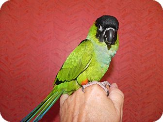 Conure for Sale in St. Louis, Missouri - Jeffy