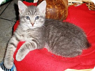 Manx Kitten for Sale in Oxford, New York - Donovan
