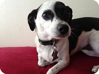Rat Terrier Mix Dog for adption in Atascadero, California - Bella