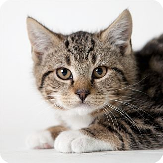 Domestic Shorthair Kitten for Sale in Rockaway, New Jersey - Kahlua