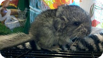 Chinchilla for Sale in Selden, New York - Popper