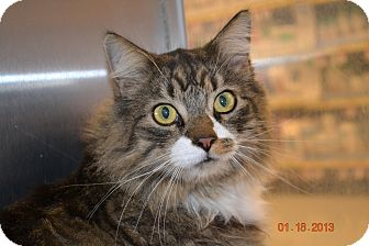 Maine Coon Cat for Sale in Gilbert, Arizona - Jasper
