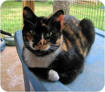 Calico Cat for adoption in Griffin, Georgia - Barbara