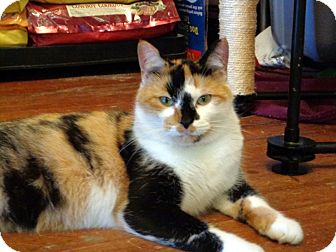 Domestic Shorthair Cat for adoption in Bedford, Virginia - Orphan Annie