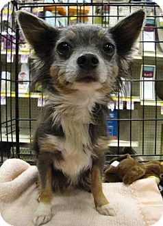 Chihuahua Dog for Sale in Gainesville, Florida - Blue
