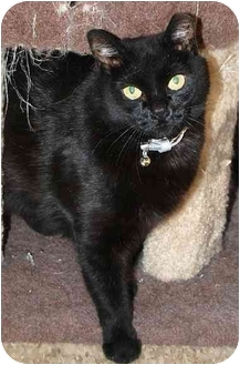Domestic Shorthair Cat for adoption in Peoria, Arizona - Carrie