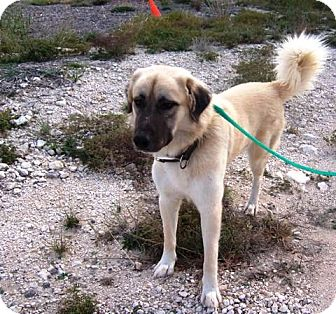 Anatolian Shepherd Dog for adption in Little Rock, Arkansas - Early