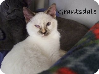 Siamese Kitten for Sale in Hamilton, Montana - Grantsdale