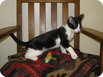 Domestic Shorthair Kitten for Sale in Los Angeles, California - William