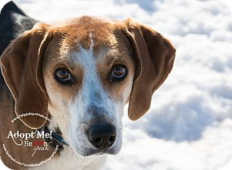 Treeing Walker Coonhound/Beagle Mix Dog for adoption in Grinnell, Iowa