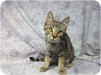 Domestic Shorthair Cat for adoption in Orlando, Florida - Allana