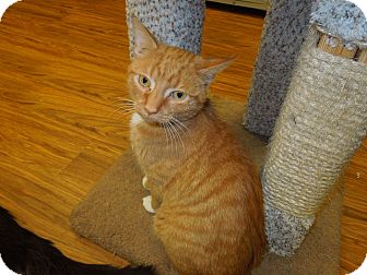 Domestic Shorthair Cat for Sale in Medina, Ohio - Emmett