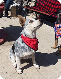 Australian Cattle Dog Mix Puppy for adption in Boise, Idaho - Wiggles