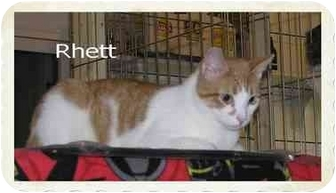 Domestic Shorthair Cat for adoption in Catasauqua, Pennsylvania - Rhett