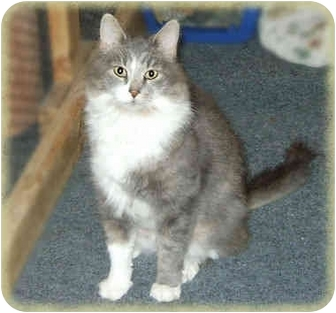 Domestic Mediumhair Cat for Sale in Howell, Michigan - Will