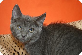 Russian Blue Kitten for Sale in SILVER SPRING, Maryland - MERCEDES