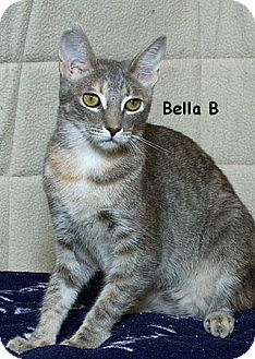 Domestic Shorthair Kitten for adoption in Sacramento, California - Bella B