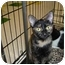 Photo 4 - Domestic Shorthair Cat for adoption in Griffith, Indiana - Ghetta