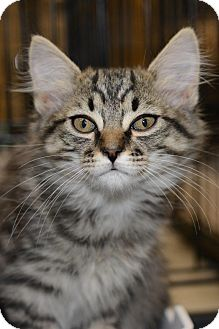 Maine Coon Kitten for Sale in Harrisburg, North Carolina - Purrr- Fection