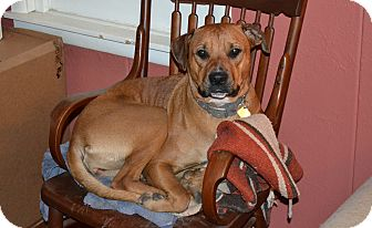 Rhodesian Ridgeback Mix Dog for Sale in Fort Worth, Texas - Miss Piggy