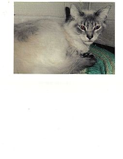 Burmese Cat for adoption in Heber Springs, Arkansas - Pretty Boy