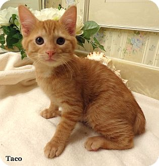 Domestic Shorthair Kitten for Sale in Bentonville, Arkansas - Taco