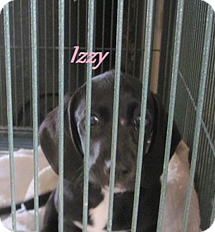 Basset Hound/Boxer Mix Puppy for Sale in Linden, Tennessee - Izzy