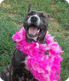 American Pit Bull Terrier Dog for adption in Christiana, Tennessee - Blossom *Foster Needed*