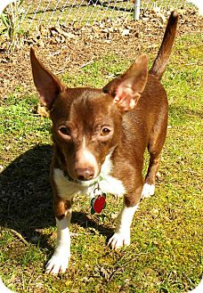 Chihuahua/Corgi Mix Dog for adption in London, Kentucky - Tuffy