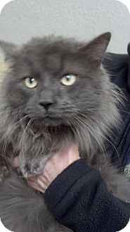 Maine Coon Cat for Sale in Sterling Hgts, Michigan - Winston