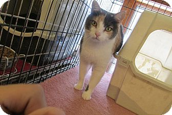 Calico Cat for adoption in Acme, Pennsylvania - Majesta