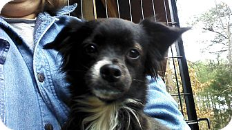 Chihuahua/Pomeranian Mix Dog for Sale in Plainfield, Connecticut - Bits