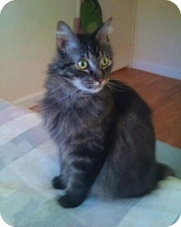 Maine Coon Cat for Sale in Modesto, California - Claude