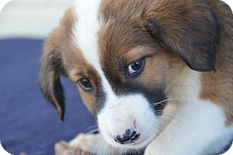 Cocker Spaniel/Spaniel (Unknown Type) Mix Puppy for Sale in Glastonbury, Connecticut - Han Solo~adopted!