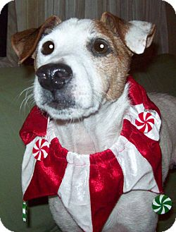 Jack Russell Terrier Dog for adption in Harrisonburg, Virginia - Fella Fella: Senior Special