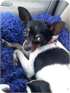 Houston, TX - Chihuahua/Toy Fox Terrier Mix. Meet Jacob a Dog for