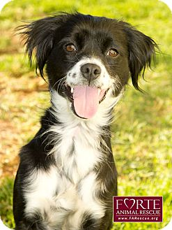 Spaniel (Unknown Type)/Border Collie Mix Dog for Sale in Marina del Rey, California - Diamond