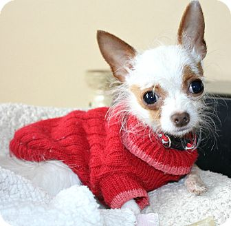 Chihuahua Dog for Sale in Temecula, California - Wispy-2.5 lbs!