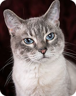 Domestic Shorthair Cat for Sale in Eagan, Minnesota - Sarabi