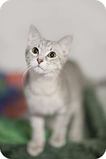 Domestic Shorthair Kitten for adoption in Chicago, Illinois - Stormy