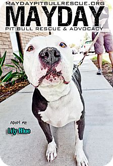 American Pit Bull Terrier Mix Dog for Sale in Phoenix, Arizona - Lily Blue