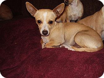 Chihuahua Mix Dog for Sale in Chandler, Arizona - Oscar