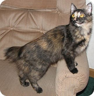 Cymric Kitten for Sale in Vacaville, California - Peanut Brittle